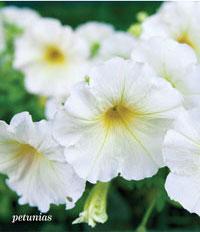 Garden_Annuals2b