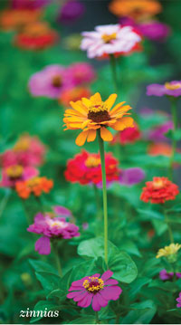 Garden_Annuals3