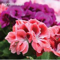 Garden_Annuals4a
