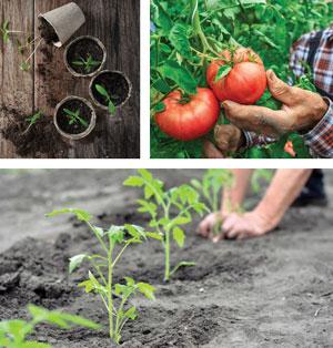 Garden_Tomatoes2