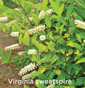 GARDEN_nativeshrubs5